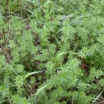 Leaves of Smooth Bedstraw