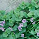 Leaves of Ground Ivy