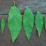 Leaves of Beggarslice