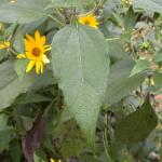 Leaves of Jerusalem Artichoke