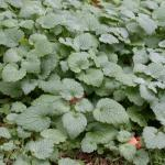 Leaves of Red Deadnettle