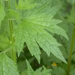 Leaves of Motherwort