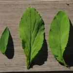 Leaves of Indian Tobacco