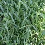 Leaves of Japanese Stiltgrass