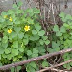 Leaves of Yellow Woodsorrel