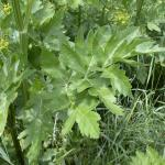 Leaves of Wild Parsnip