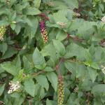 Leaves of Common Pokeweed