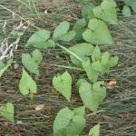 Leaves of Black-Fringed Knotweed