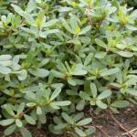 Leaves of Common Purslane
