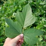 Leaves of Kudzu