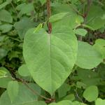 Leaves of Giant Knotweed