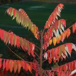 Leaves of Staghorn Sumac
