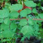 Leaves of Wineberry