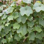 Leaves of Burcucumber