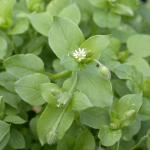 Leaves of Common Chickweed