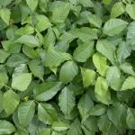 Leaves of Poison-Ivy