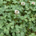 Leaves of White Clover