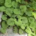 Leaves of Coltsfoot