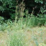 Growth Habit of Big Bluestem