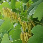 Seedpod of Kudzu