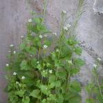 Stems of Garlic Mustard