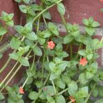 Stems of Scarlet Pimpernel