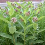Stems of Common Milkweed