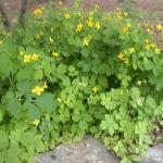 Stems of Greater Celandine