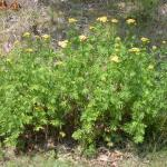 Growth Habit of Tansy