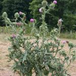 Growth Habit of Bull Thistle
