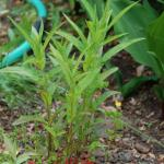 Seedlings of American Willowherb