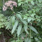 Stems of Hollow-Stemmed Joe-Pye Weed