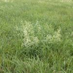 Stems of Smooth Bedstraw