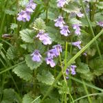 Stems of Ground Ivy