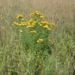 Growth Habit of St. Johnswort