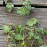 Stems of Henbit