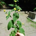 Stems of Fringed Loosestrife