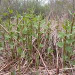 Stems of Japanese Knotweed