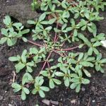 Stems of Common Purslane