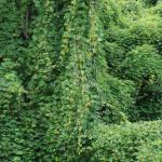 Stems of Kudzu