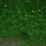 Stems of Creeping Buttercup