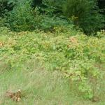 Growth Habit of Wineberry