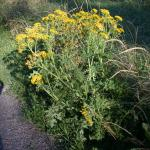 Stems of Tansy Ragwort