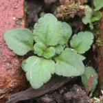 Seedling of Corn Speedwell