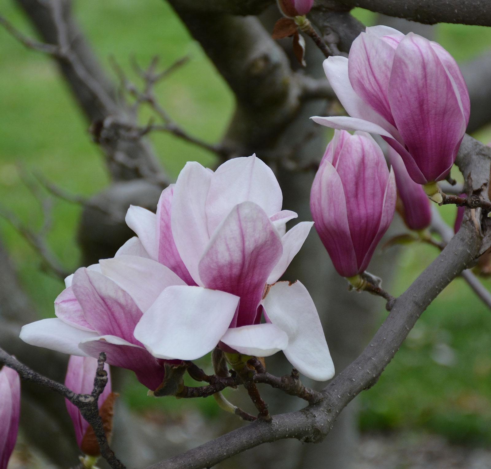 Saucer Magnolia Umass Amherst Greenhouse Crops And