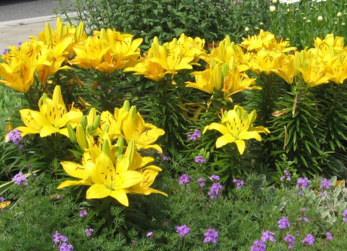 Garden Lily | UMass Amherst Greenhouse Crops And Floriculture Program