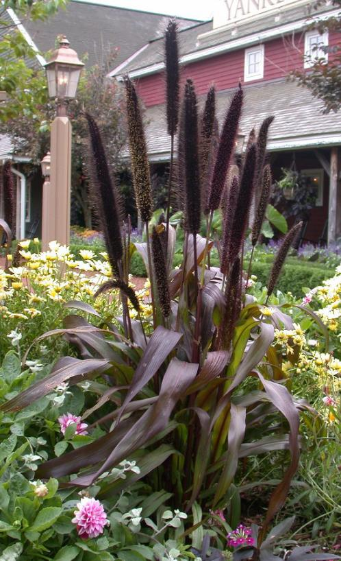 Civil Rights >> Purple Millet | UMass Amherst Greenhouse Crops and Floriculture Program