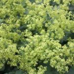 Lady's Mantle Flowers