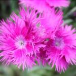 China Pink Flowers