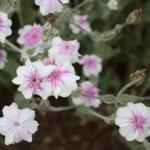 Rose Campion Flowers